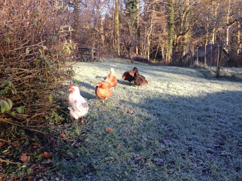 Chickens thawing out in the sun