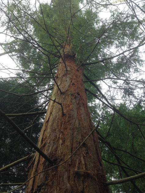 Discovered two Coast Redwoods in mother's new plot!