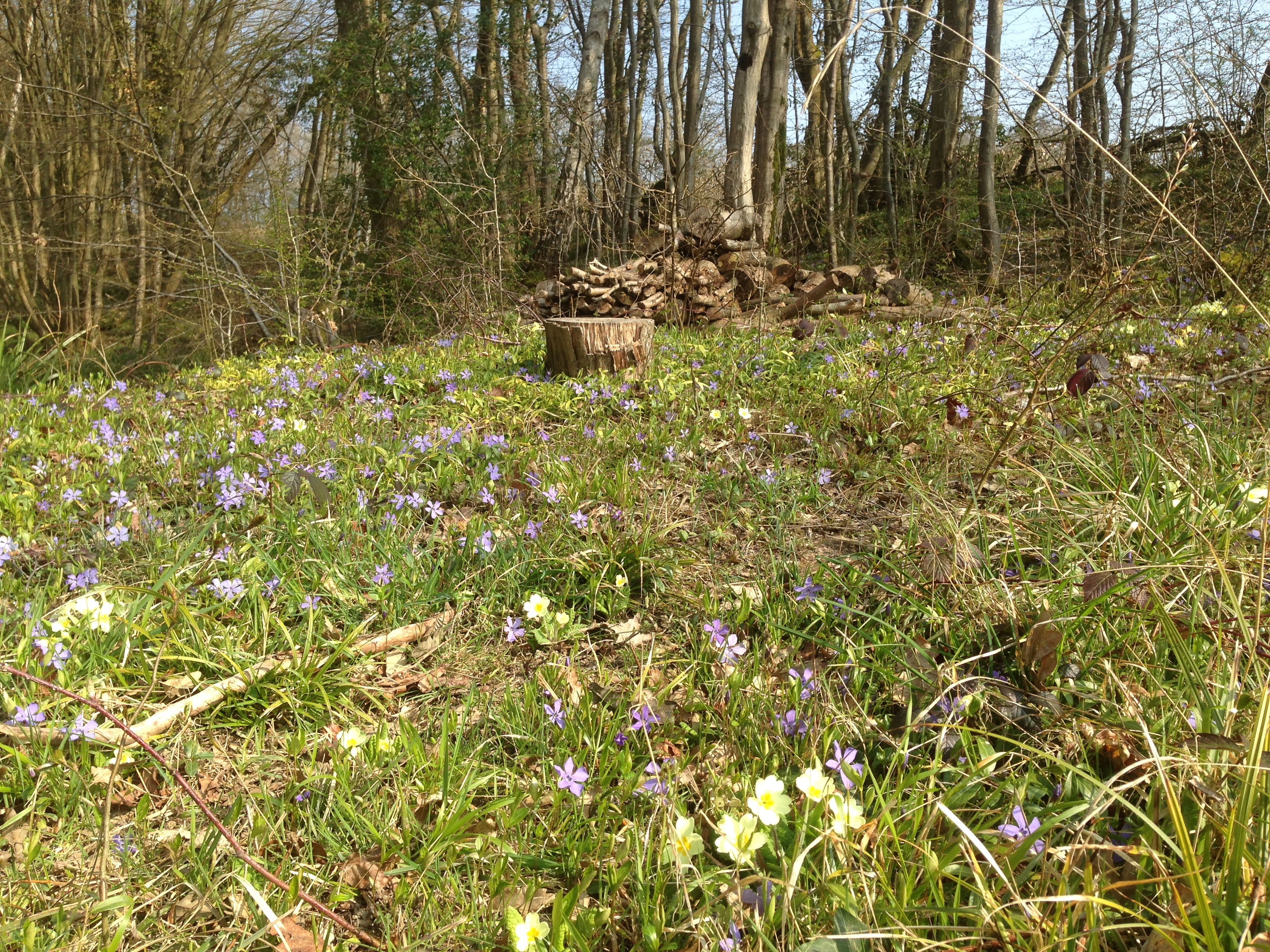 Primroses and Periwinkles in the spring sunshine