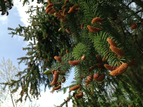 Spruce trees laden with flowers
